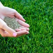 When selecting a grass seed, look for one with Kentucky bluegrass, the species best adapted to northern climates